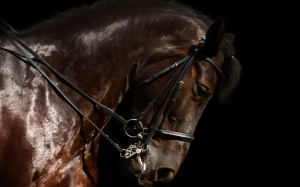 horse_harness_jumping_head_16952_2560x1600